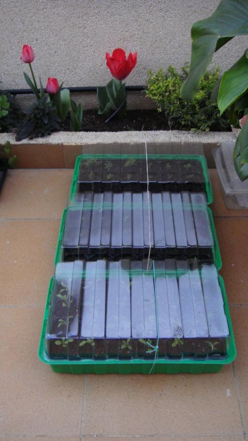 Przepikowana rozsada. Transplanted seedlings.