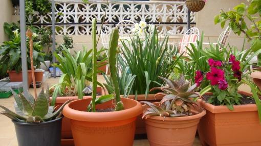 Dragon fruit, aloesy, agapanty, tulipany, narcyzy, petunie - misz masz w pojemnikach