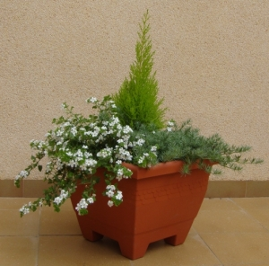 Container: bacopa, lotus, thuya