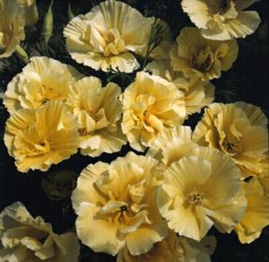 flore-pleno, chiffon