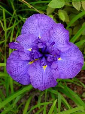 Iris ensata (japonica) Azure