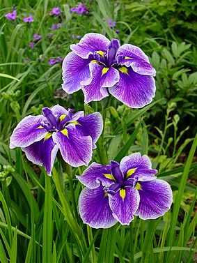 Iris ensata (japonica) Cristal Halo