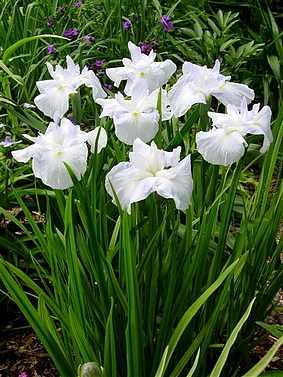 Iris ensata (japonica) Kiri Shigure