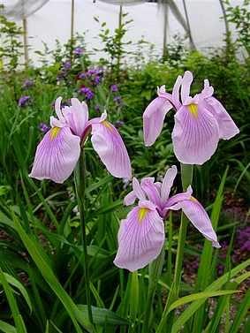 Iris ensata (japonica) Momozomo