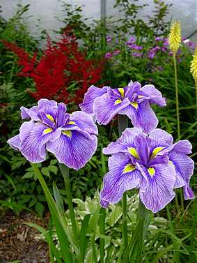 Iris ensata (japonica) Tsuyugomorii